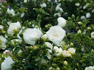 Rose Of Sharon Hibiscus Syriacus Notwoodtwo White Chiffon From