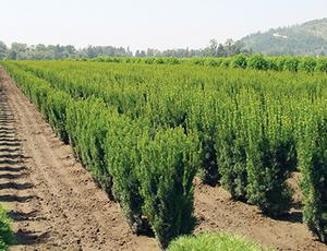 hicks yew taxus x media 39 hicksii 39 from van essen nursery. Black Bedroom Furniture Sets. Home Design Ideas