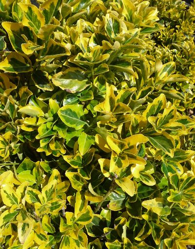 Country Gold Euonymus