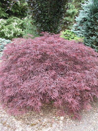 Weeping Japanese Maple Acer Palmatum Dissectum Red Dragon From Van