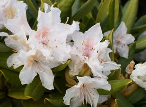 rhododendron cunningham 39 s white from van essen nursery. Black Bedroom Furniture Sets. Home Design Ideas